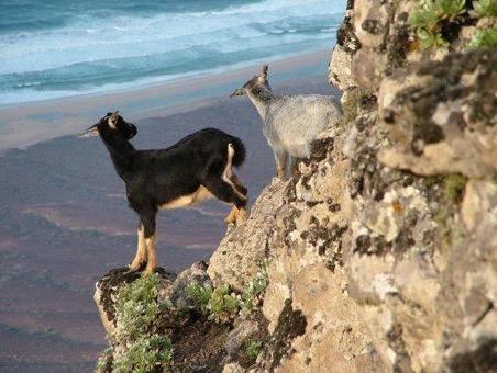 Cabras de raza canaria