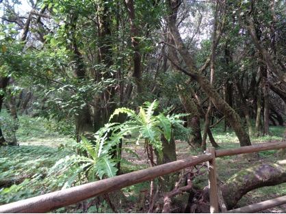 Isla de Gomera, Parque Nacional de Garagonay, bosque de laurisilva